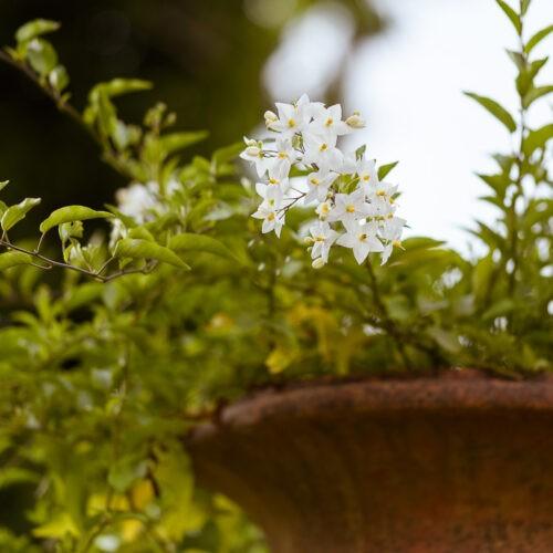 Dettaglio pianta e vaso toscano in terracotta